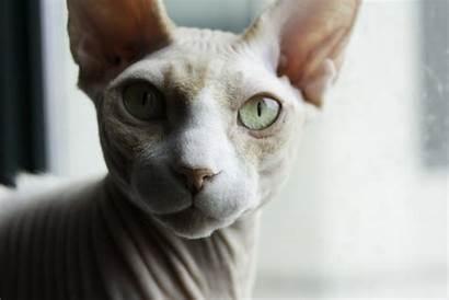 Sphynx Cat Wallpapers Background Animal Desktop Alphacoders