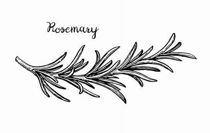Rosemary Vector Sketch Illustration Clip Illustrations Branch