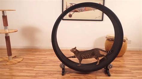 cat hamster wheel one fast cat is a feline sized hamster wheel for your cat