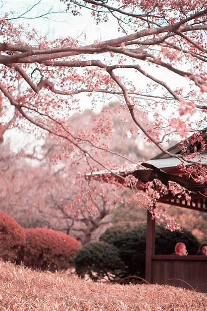 Cherry Blossom Blossoms Sakura Japan Aesthetic Wallpapers