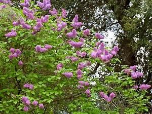 Baum Mit Blüten : bl te lila baum mit violetten bl ten im fr hlingspark stockfoto colourbox ~ Frokenaadalensverden.com Haus und Dekorationen