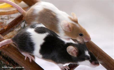Wie Viel Kostet Eine Maus Als Haustier m 228 use als haustiere