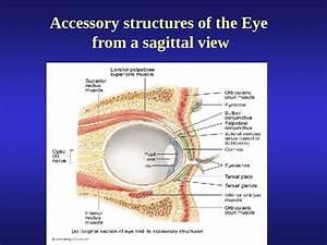 External Anatomy Of The Eye Lacrimal Apparatus