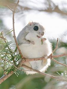 The Baby Japanese Dwarf Flying Squirrel Is Definitely The ...