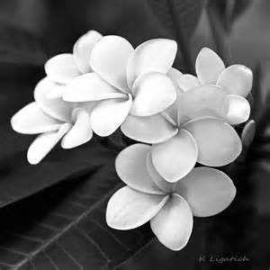 Black and White Plumeria Flowers