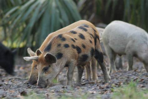 florida memory feral hogs  glades county florida
