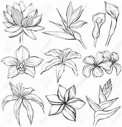 Sketch Tropical Flowers Blumen Tropische Dessin Plumeria