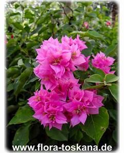 Bougainvillea Blüht Nicht : bougainvillea spectabilis rosa gef llt bl hende ~ Lizthompson.info Haus und Dekorationen