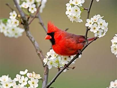 Birds Bird Desktop Wallpapers Animals Cardinal Pretty