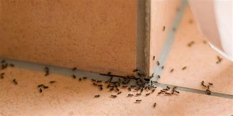 ameisen in wohnung haus bek 228 mpfen hausmittel essig