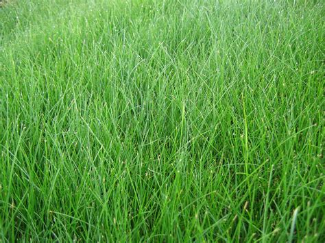 fescue grass types family tree and turf care grass types