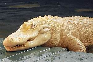 Meet Pearl, one of the world's rare albino alligators ...