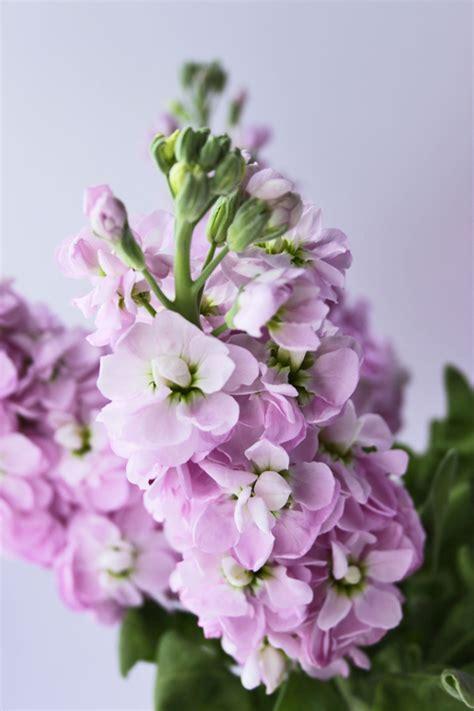 fragrant flowers stock a wonderfully fragrant flower flowerona