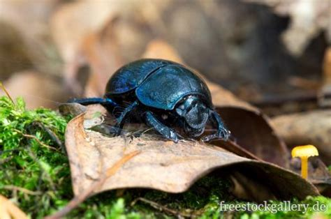 Schwarzer Käfer Im Wald Waldmistkäfer