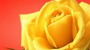 yellow rose wallpaper hd - HD Desktop Wallpapers   4k HD