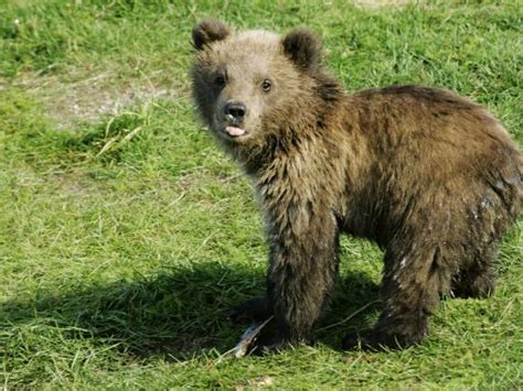 Alaskan Brown Bear, Baby Bear Sticking Tongue Out, Alaska