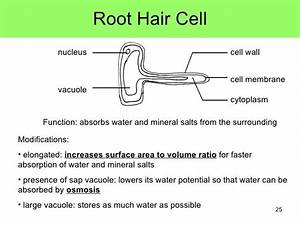 Image Result For Root Hair Cells Labelled Diagram And