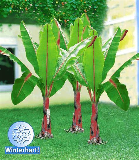 winterharte pflanzen für balkon winterharte banane rot pflanzen winterhart bananen und rot