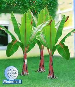 Winterharte Pflanzen Für Balkon : winterharte banane 39 rot 39 pflanzen pinterest winterhart bananen und rot ~ Somuchworld.com Haus und Dekorationen