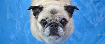 Dog Funny Pug Face 1080p Dual Wide