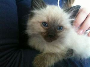 RAGDOLL KITTEN female seal point - READY NOW | Beccles ...