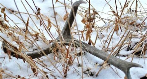 colorado issues new shed hunting restrictions in the northwest