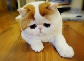 snoopy cat snoopy cat the cutest cat in the world cutest cats