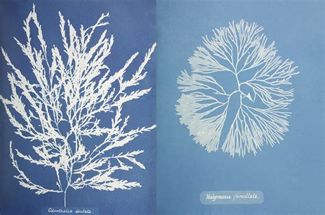 anna atkinss cyanotypes   book  photographs