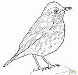Coloring Bird Thrush Robin Wood Drawing Printable Realistic Birds Adult Drawings Animal Sparrow Animals Peregrine Paper sketch template
