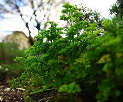 planter persil en pot persil semer du persil jardinage bio