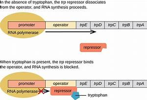 Gene Regulation  Operon Theory
