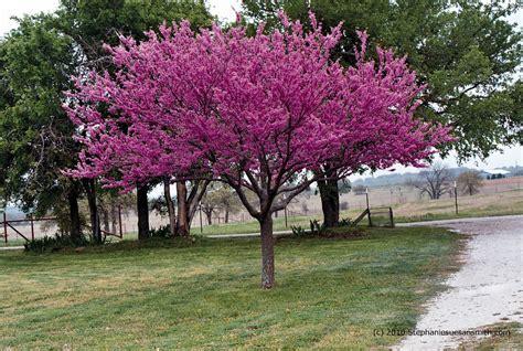 eastern rosebud tree in my garden redbuds mean spring time