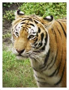 Animal Bengal Tiger