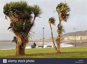 Palm trees blowing in high wind on Largs Promenade in ...