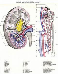 399 Best Images About Urinary System On Pinterest