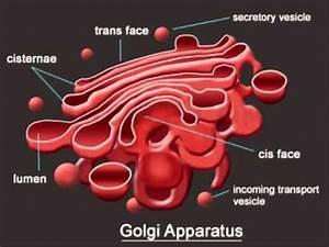golgi body images