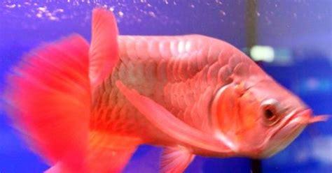 19 Jenis Ikan Hias jenis ikan jenis jenis ikan hias arwana peternak
