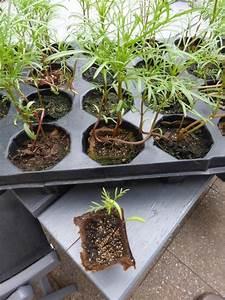 Aprikosenbaum Selber Ziehen : tomaten aus samen selber ziehen eine anleitung und ein ~ Lizthompson.info Haus und Dekorationen