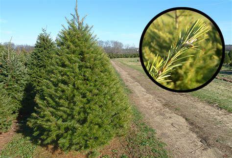 christmas trees bullock farms cream ridge nj