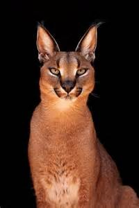 caracal cat caracal animals