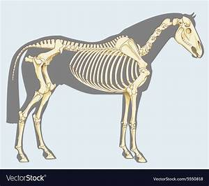 Horse Skeleton Royalty Free Vector Image