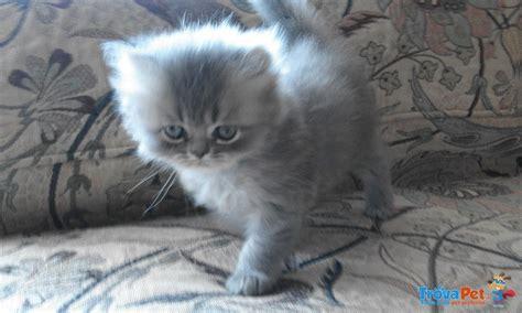 gatti persiani in vendita gatti persiani in vendita a novara no