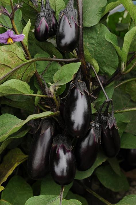 Can You Freeze Eggplant?   Freezing Eggplant Tips   HGTV