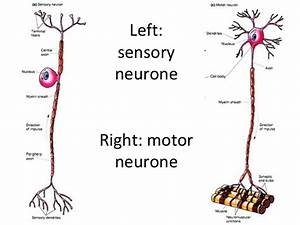 similarities between sensory and motor neurons