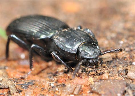 Black Ground Beetle - ? Catadromus sp.