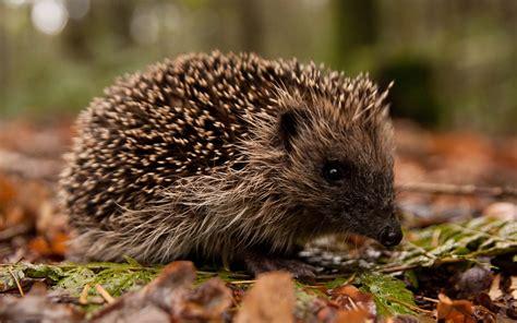 Hedgehog Wallpapers Best Wallpapers HD Wallpapers Download Free Images Wallpaper [1000image.com]