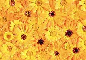 Yellow daisy-gerbera as background and pattern — Stock ...