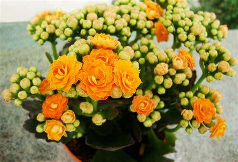 Floare Kalanchoe 30000107