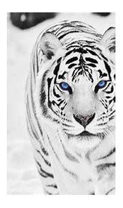 White Tiger HD Wallpapers | PixelsTalk.Net
