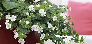 Bacopa | Costa Farms